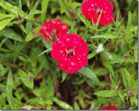 Dianthus_single_red_orig