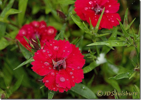 Dianthus single red2